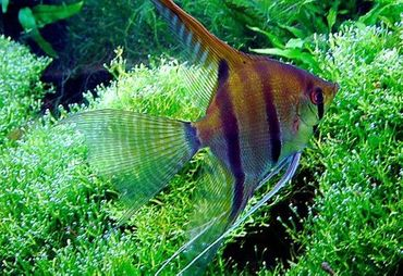 Caring for Freshwater Angelfish Eggs
