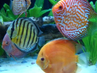 Cultivating a Healthy Discus Community Tank