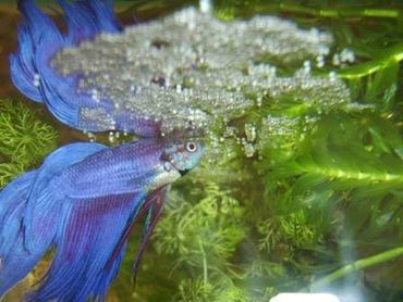 Can You Keep Other Fish With Your Betta?