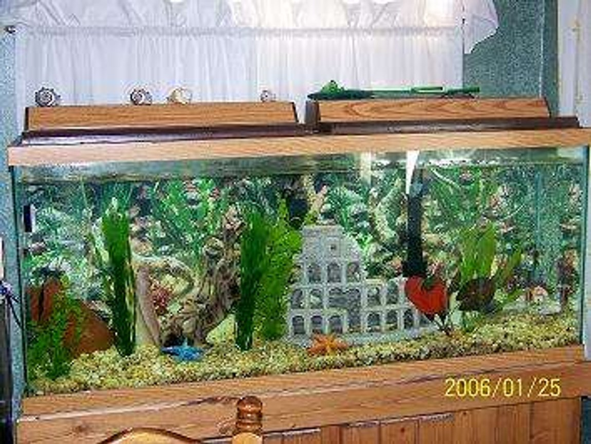 fish tank picture - 55 gallon with 2 Red Turqoise Discus