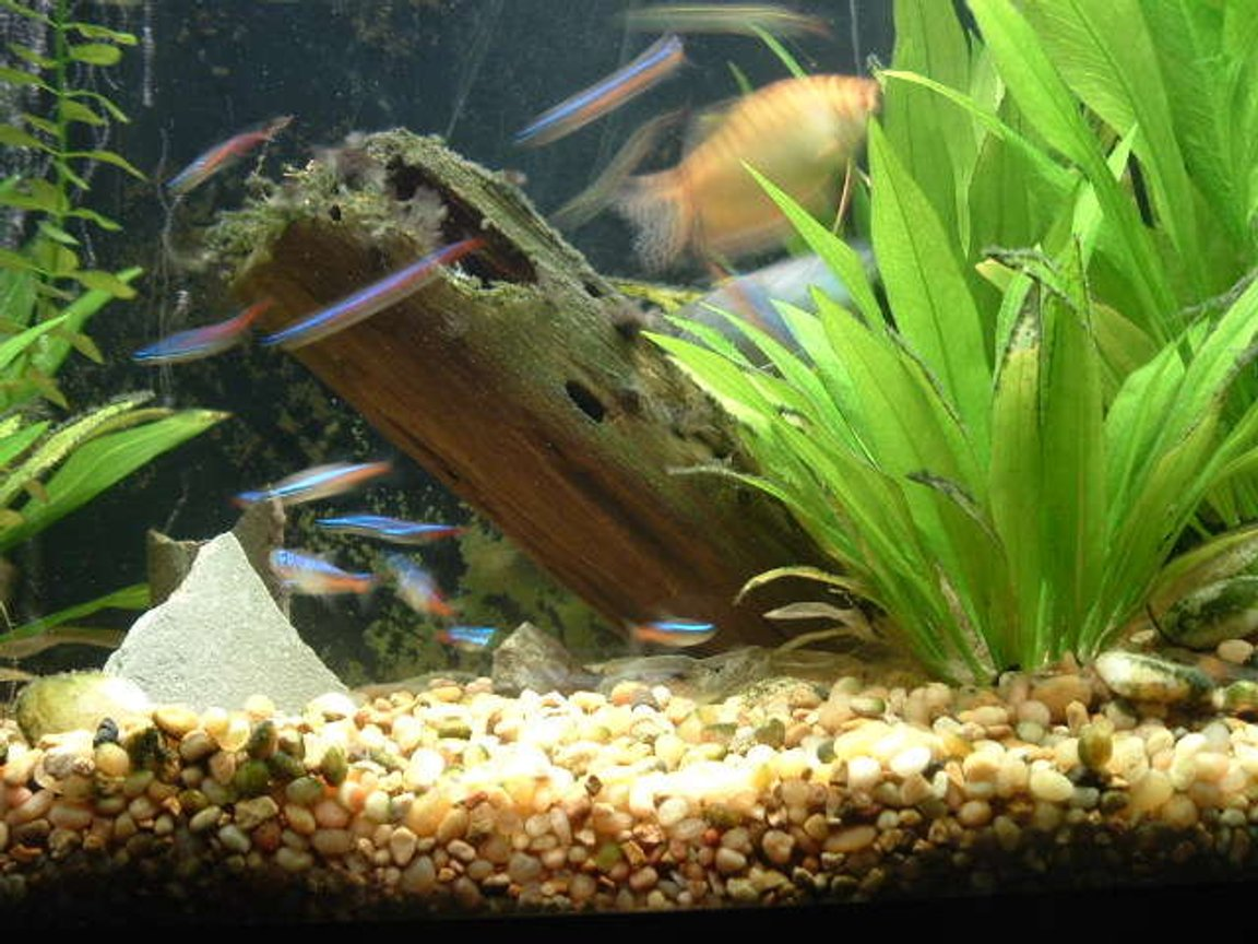 fish tank picture - my school of 15 neon tetras in my 37G T