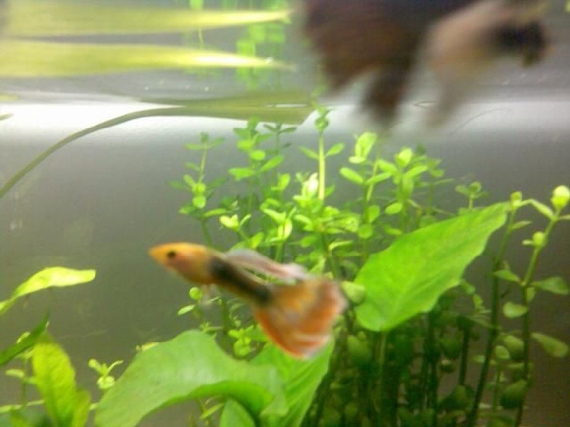 fish tank picture - guppy