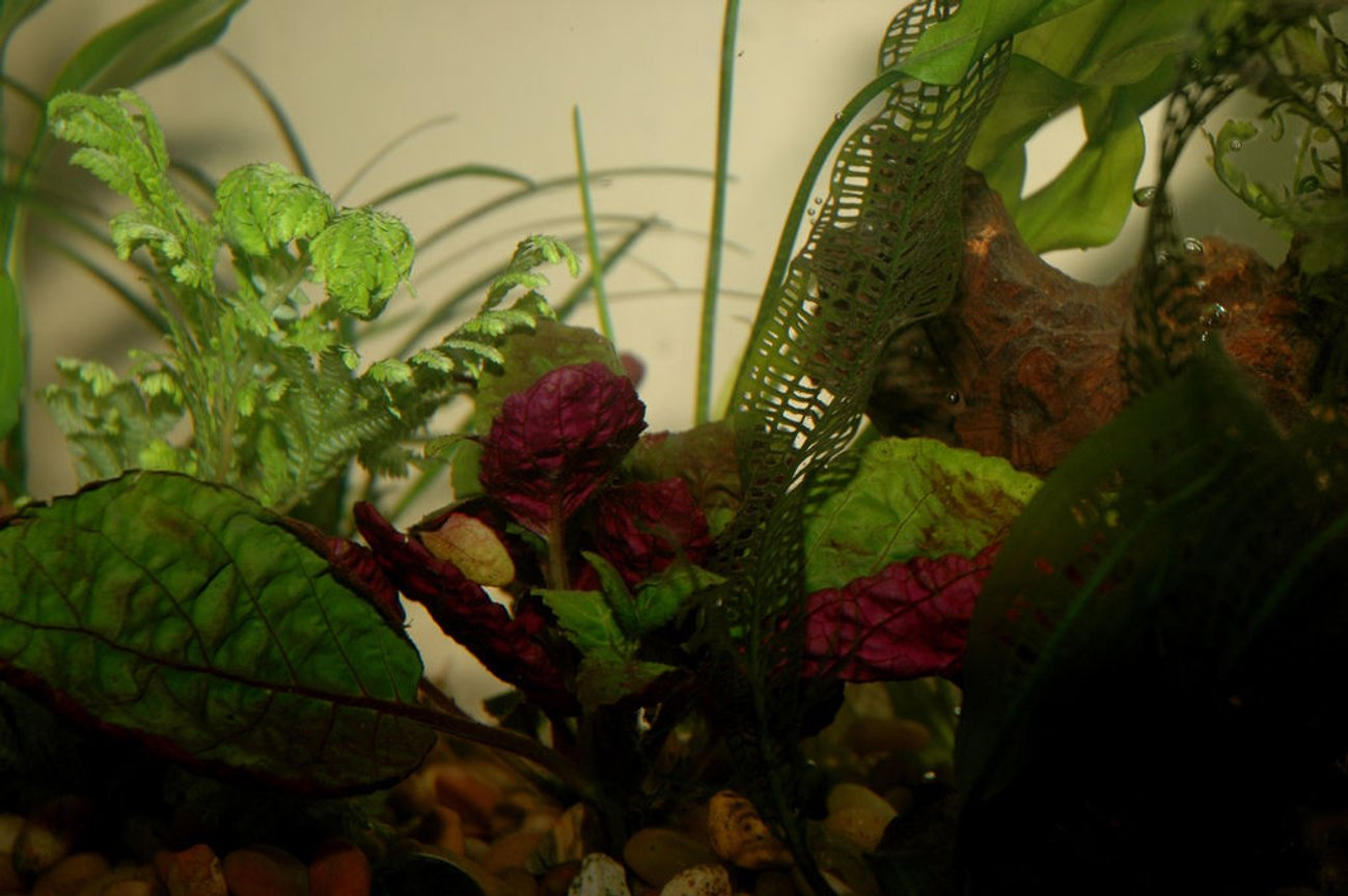 fish tank picture - Peacock Fern, Madagascar Lace, and a bright purple thing.