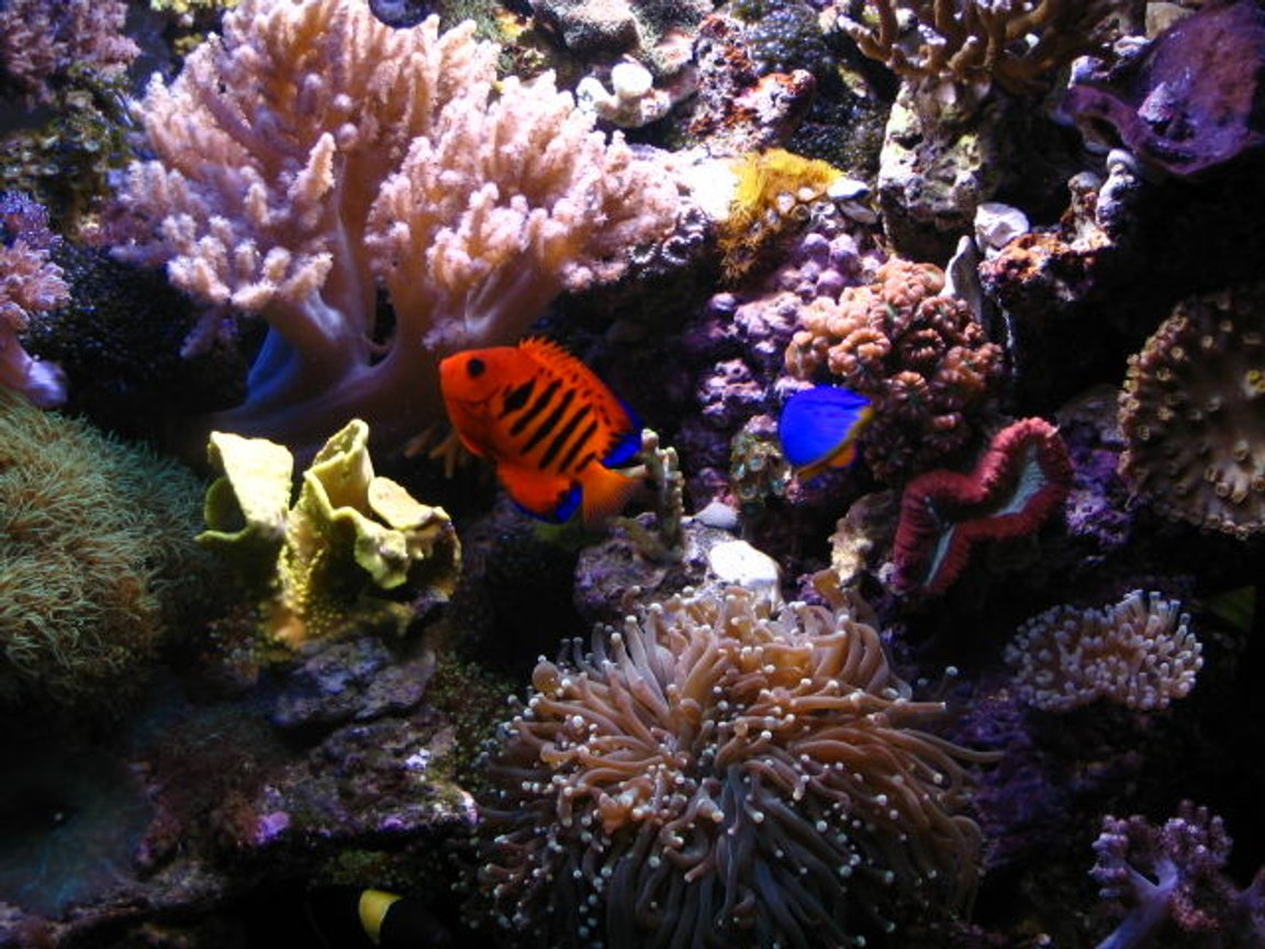 fish tank picture - Flame and corals