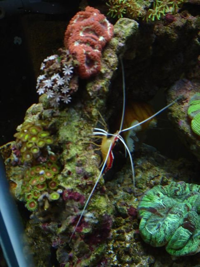 fish tank picture - cleaner shrimp