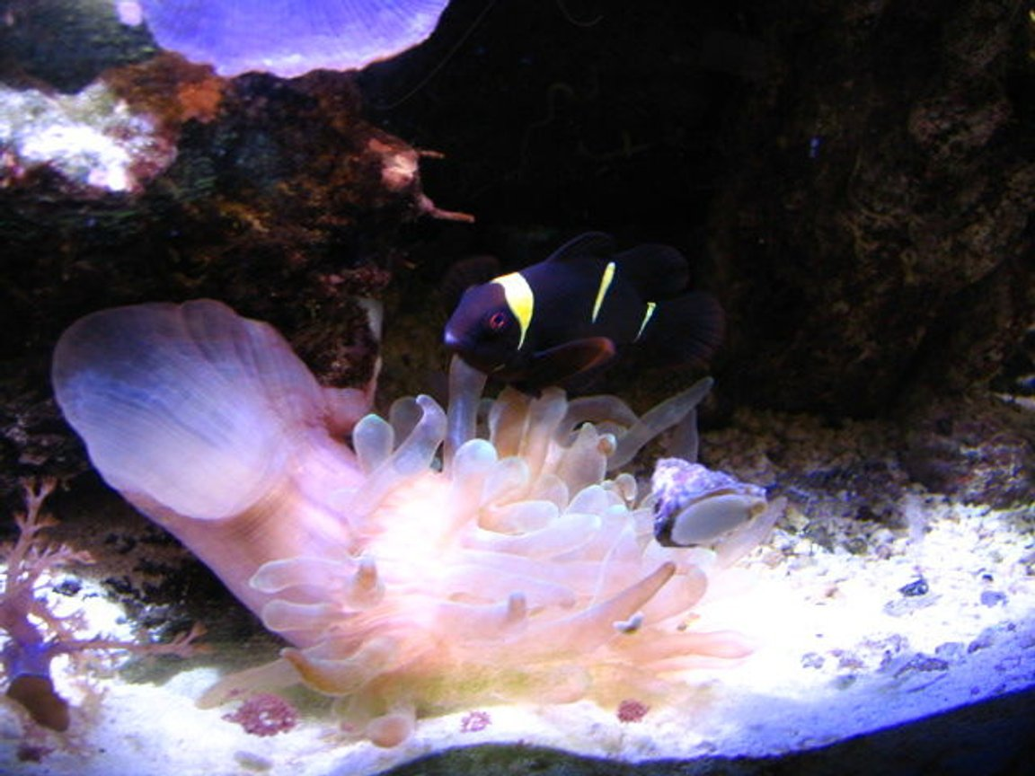 fish tank picture - Male clownfish and anemone
