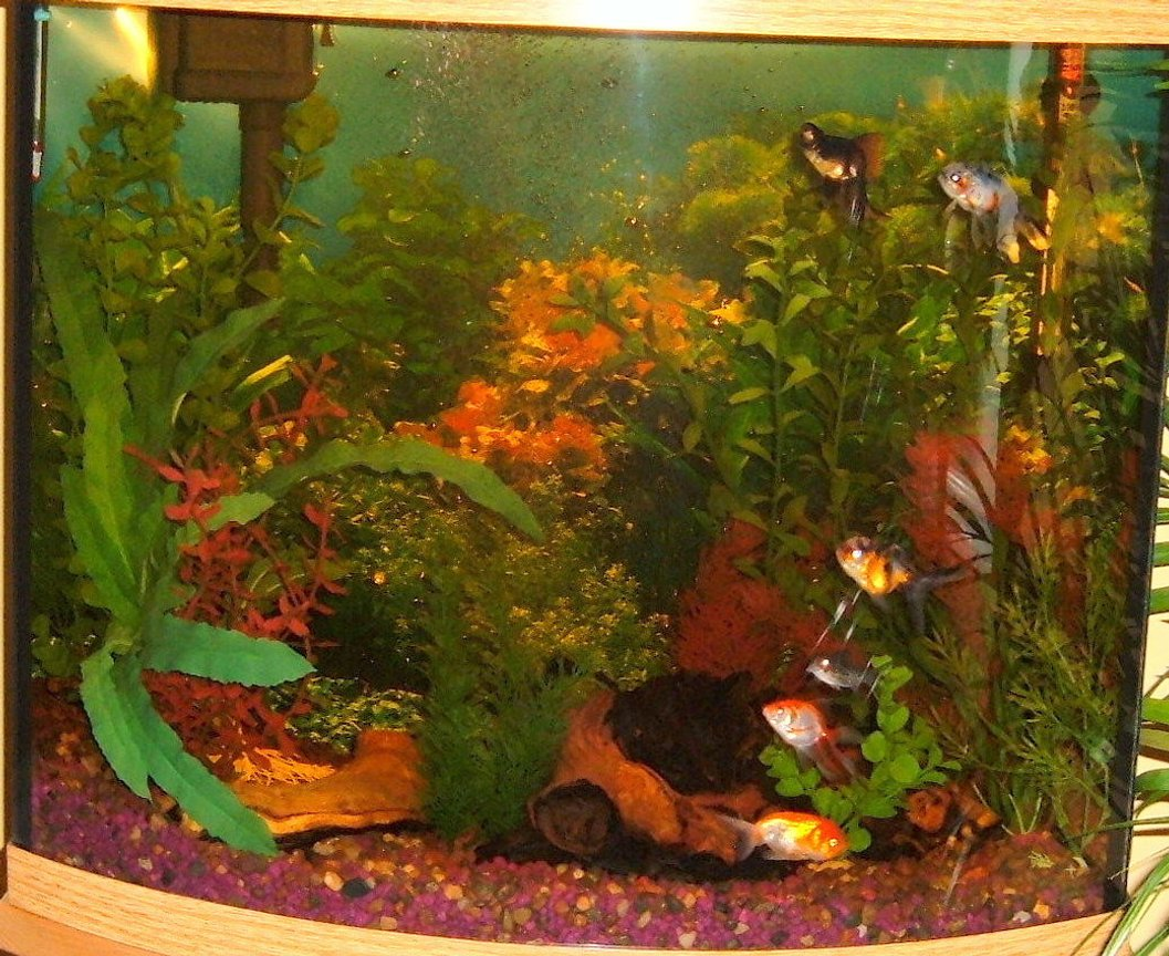 fish tank picture - My 26 gallon bowfront goldfish tank.