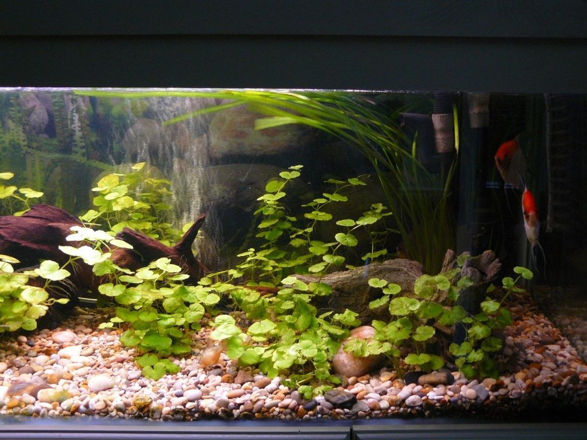 fish tank picture - And my 2 angels hiding away up the other corner