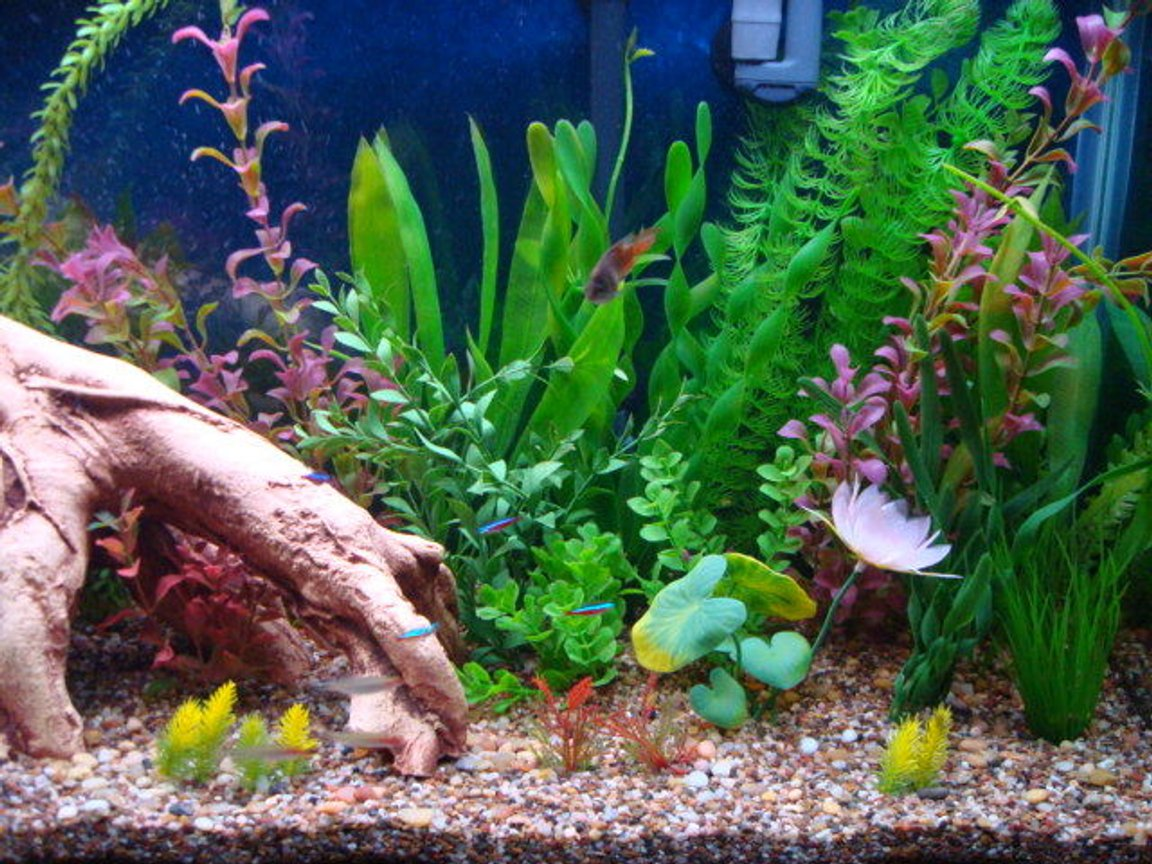 fish tank picture - Close up of gouramis and cardinals on right side.