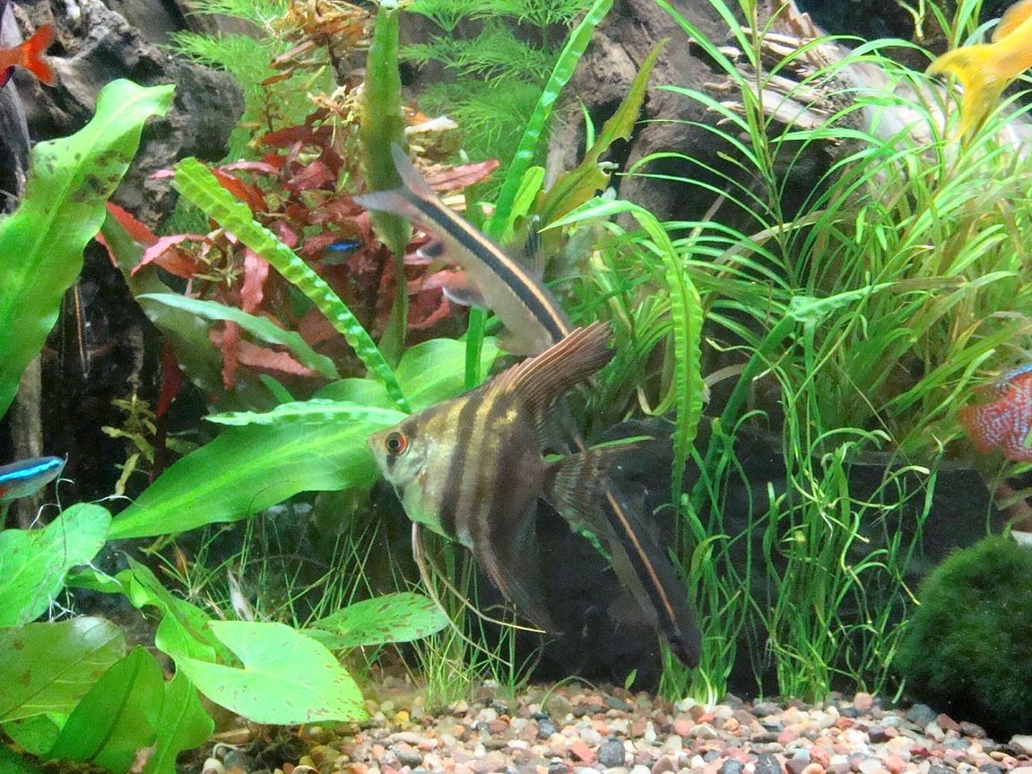 fish tank picture - Angelfish