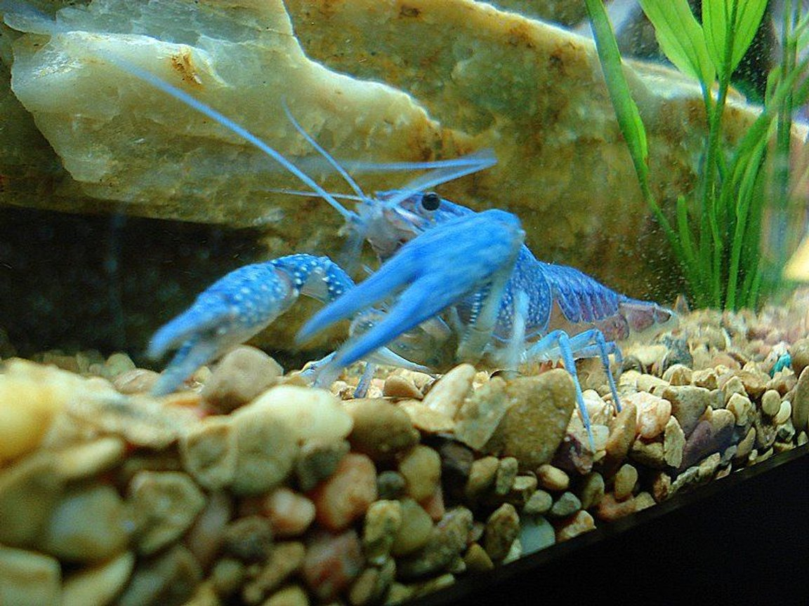 fish tank picture - The King of the tank...Blue Lobster...This guy will eat most anything...