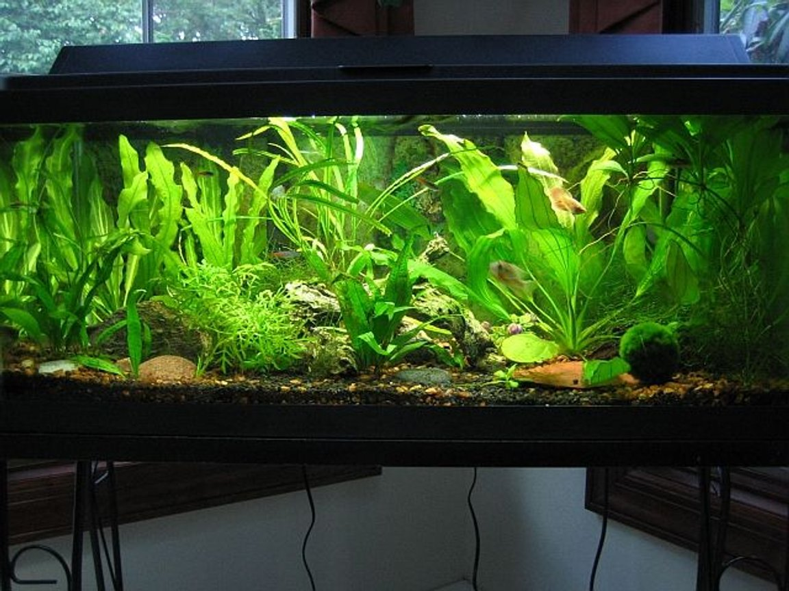 fish tank picture - My planted 20 gallon long.