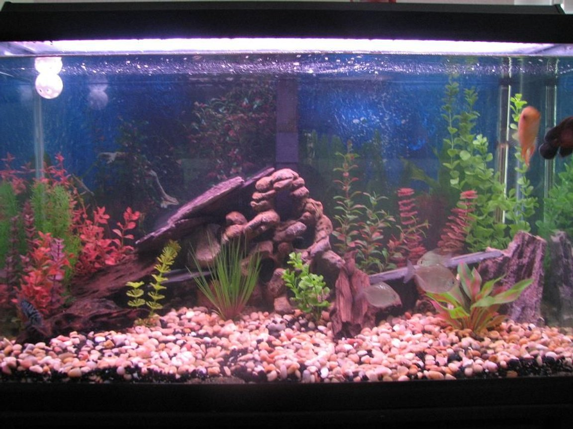 fish tank picture - My 60 gallon tank. Home to 1 Red Oscar(Rosie), 1 Gold Severum(Brian), 1 Convict(Fifi) and 3 Silver Dollars(Clay, Jax and Obie-SoA)