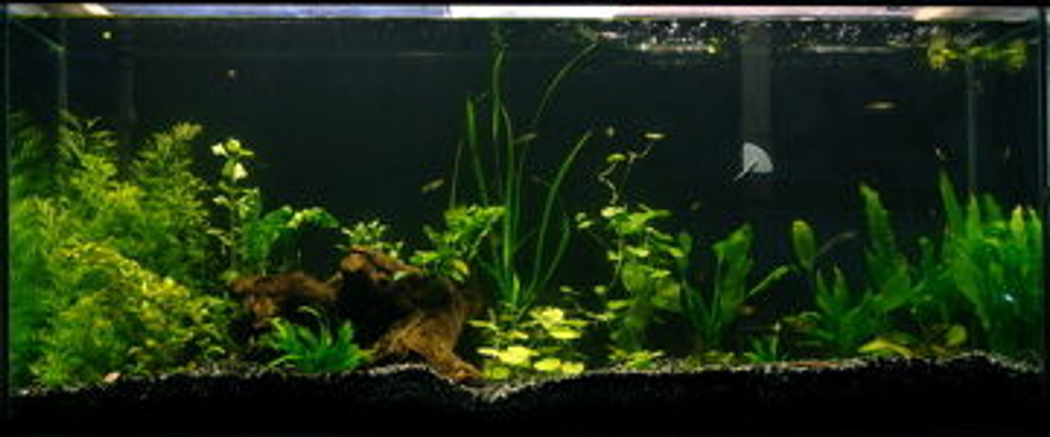 fish tank picture - my 55 befor replanting, and removing driftwood