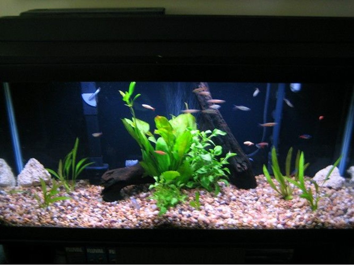 fish tank picture - my planted 30 gallon community fish tank