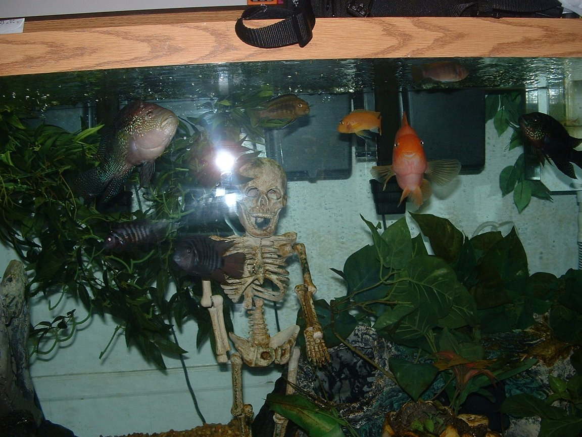 fish tank picture - jack dempsey, blood parrot, convicts, assorted of cichlids