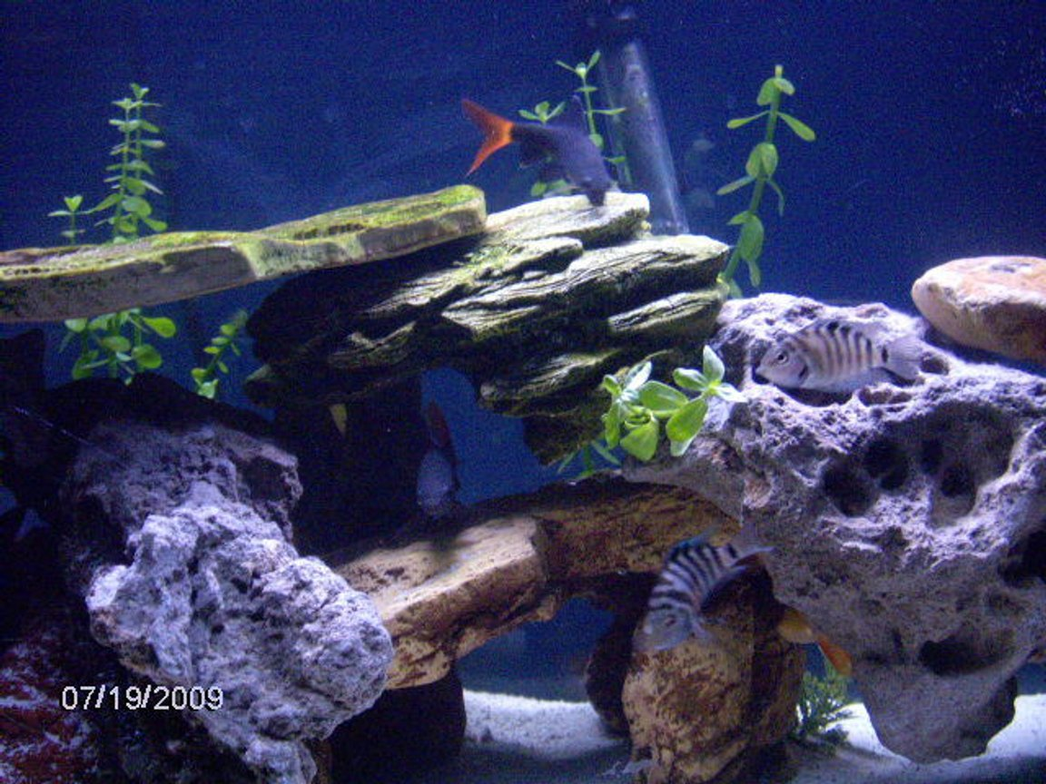 fish tank picture - redtail shark an chiclid told ya