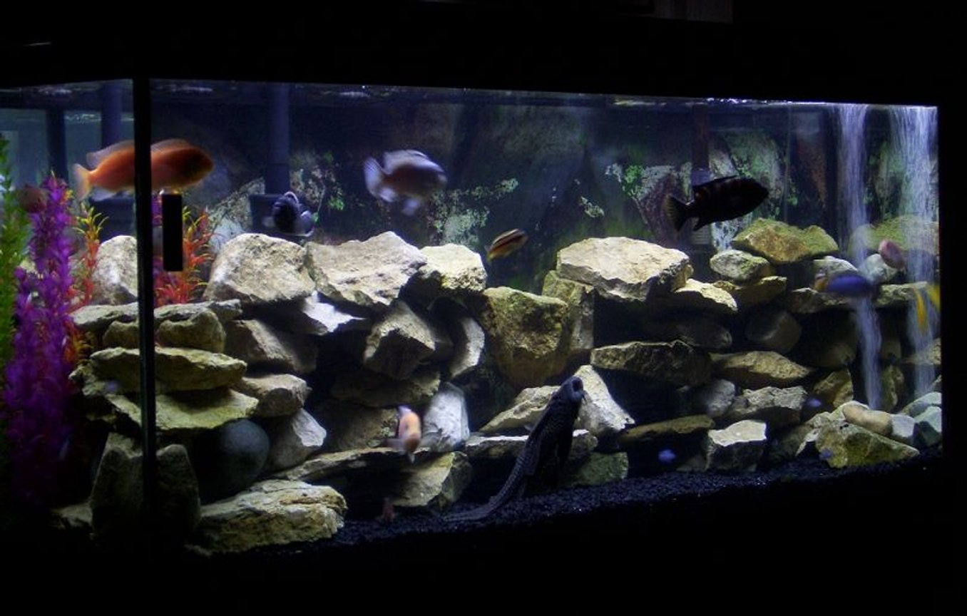 fish tank picture - My 55 gallon Cichlid tank.