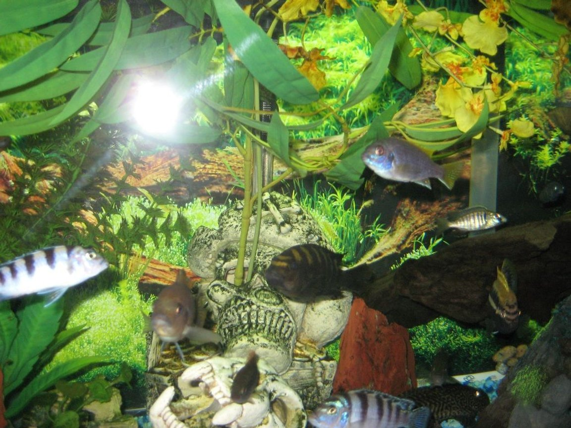 fish tank picture - Cichlids are 1 of the smartest fish in the world. They have even adapted from salt water fish to freshwater after their waterway was cut off from the ocean to become a lake Malawi in Africa.