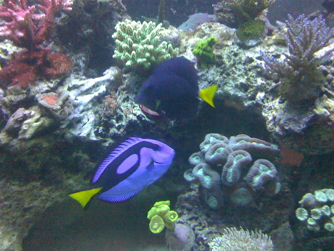 "fish tank picture - My Blue Hippo and Purple Tang. They are best friends. They are always together "" it's cute ;) """