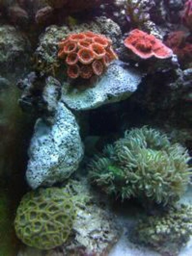 fish tank picture - Red Acan Lord, Hot Tamale Chalice and Elegance