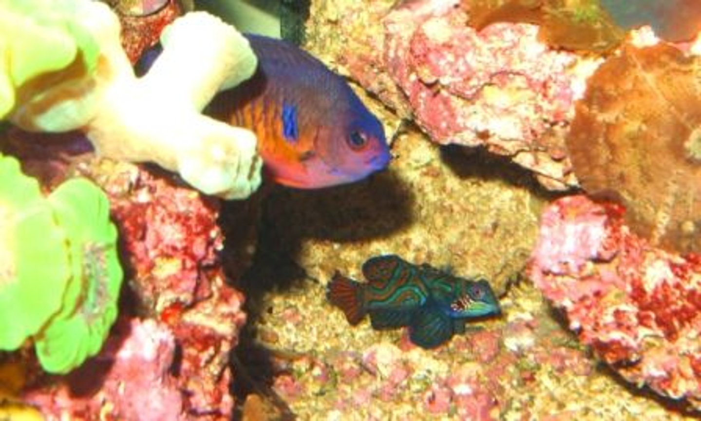 fish tank picture - Angel and Mandarin Dragonet