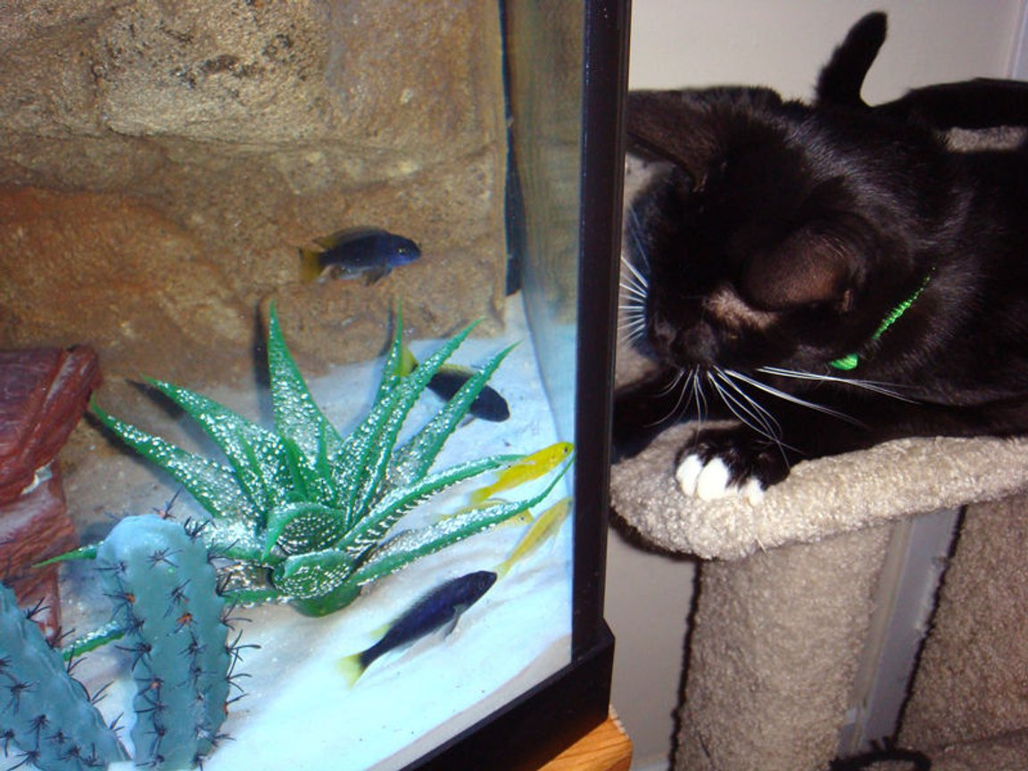 fish tank picture - Our cat Bocelli the Cichlid Whisperer