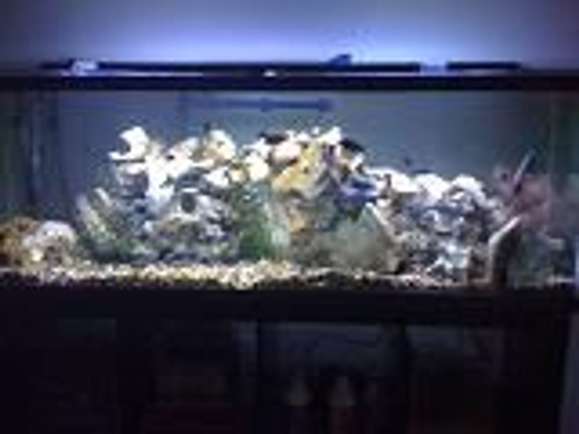 fish tank picture - my 100g Tropheus tank