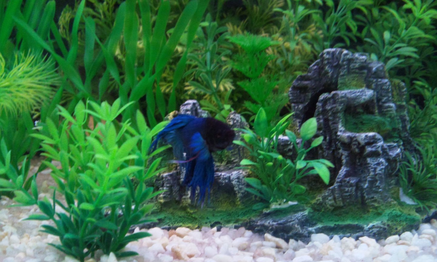 fish tank picture - My Crowntail Saimese Fighter.