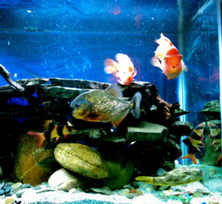 fish tank picture - Fahaka Puffer, Midas cichlid, King Kong Parrot, Red Belly Pirana and some clowns in harmony