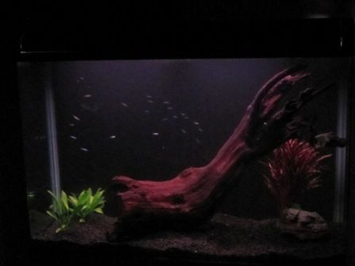 fish tank picture - night view 31 cardinal tetras 2 angel fish rock driftwood live and plastic plants