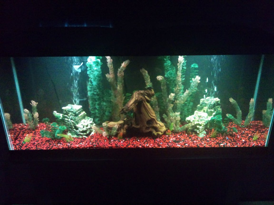 fish tank picture - 55g, with my new driftwood centerpiece. Looking to make it a planted tank with sand.