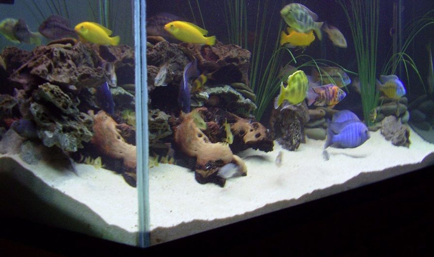 fish tank picture - Mixed African Cichlid aquarium from another angle.