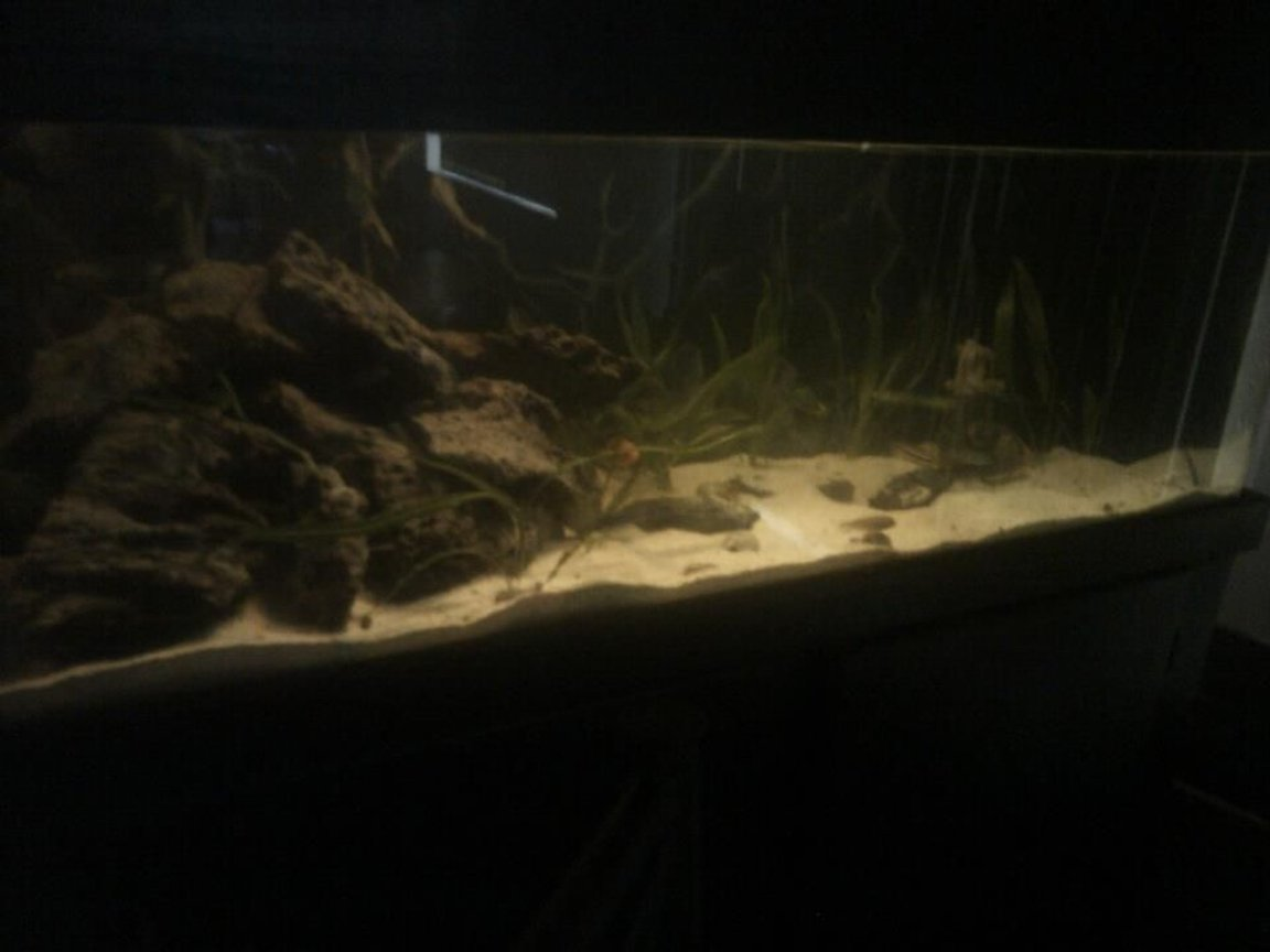 fish tank picture - 60 gal freshwater cichlid tank