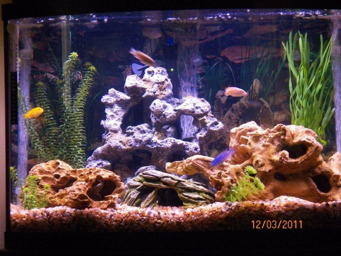 fish tank picture - African Cichlids