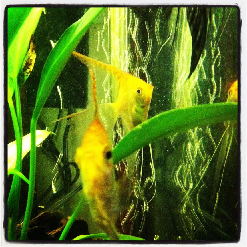 fish tank picture - Angels