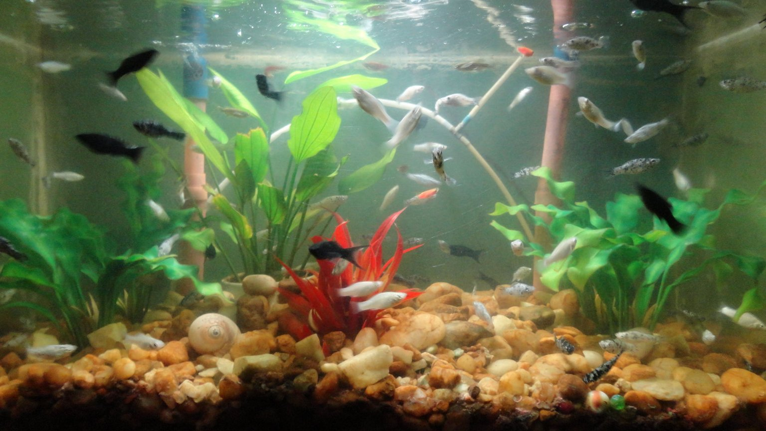 fish tank picture - 14 gl freshwater with molly and danio fish