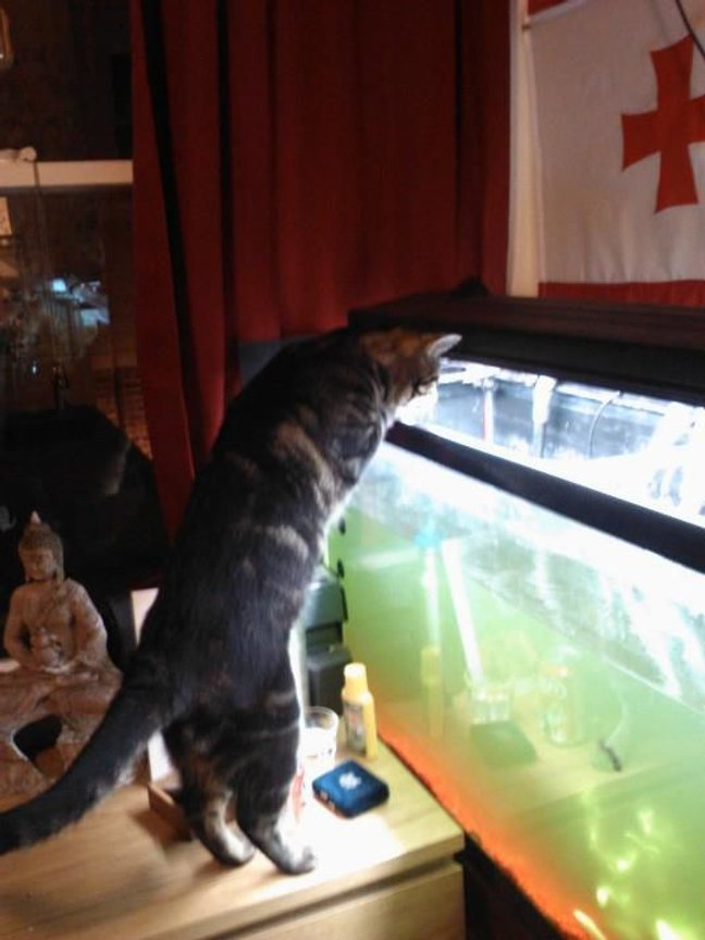 fish tank picture - Cats are excellent judges of algae growth in an aquarium. A trained house cat will report algae problems immediately so that you will clean the tank up, and the hunt may resume.