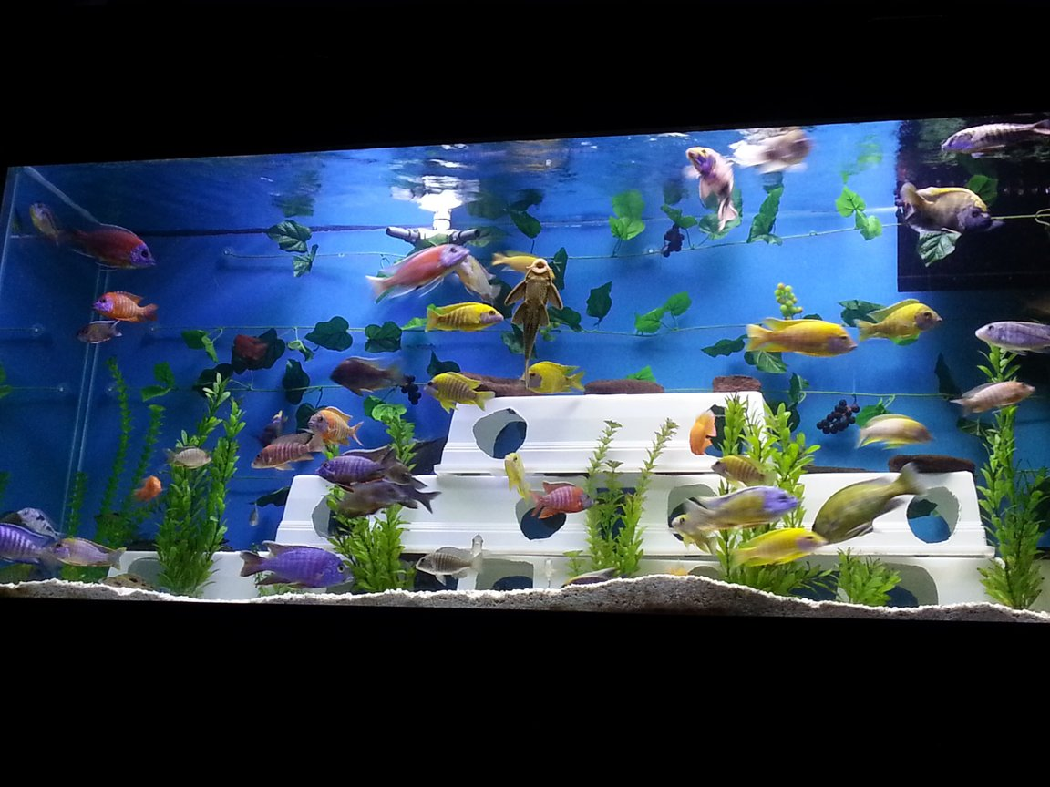 fish tank picture - Updated 150g all male African Cichlid tank