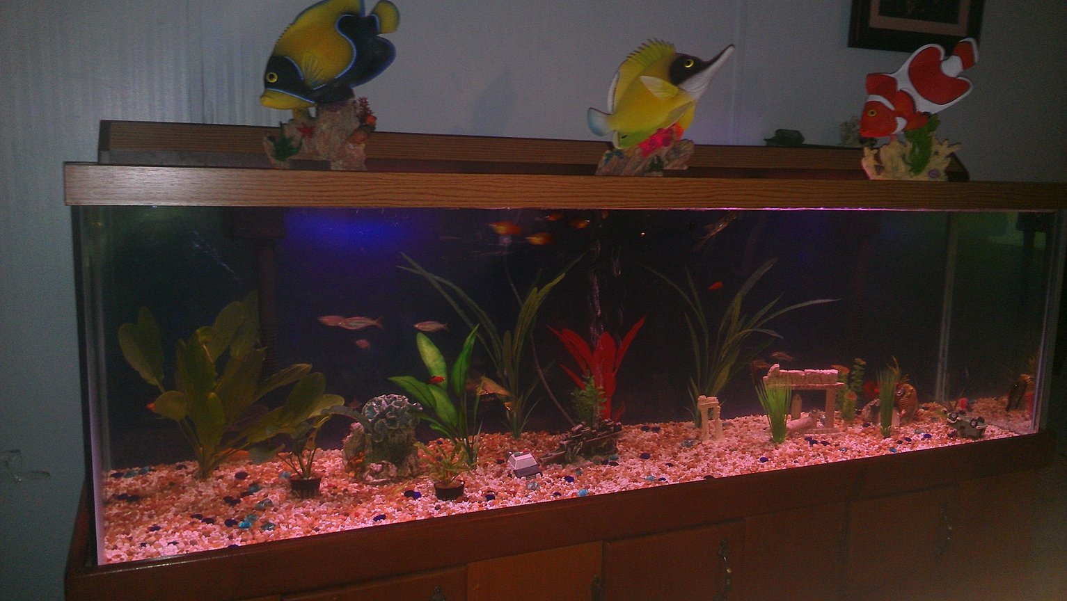 fish tank picture - My love brought some aquarium decorations home today. He likes them on top of the tank. I want to put them in the water. What do you think?