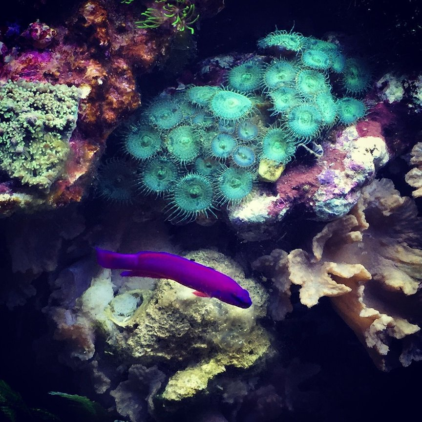fish tank picture - Orchid dottyback