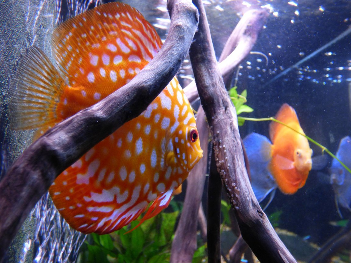 fish tank picture - discus with eggs