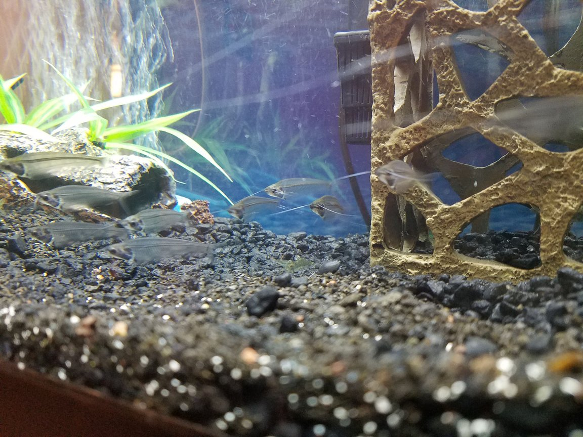 fish tank picture - Glass cats schooling.