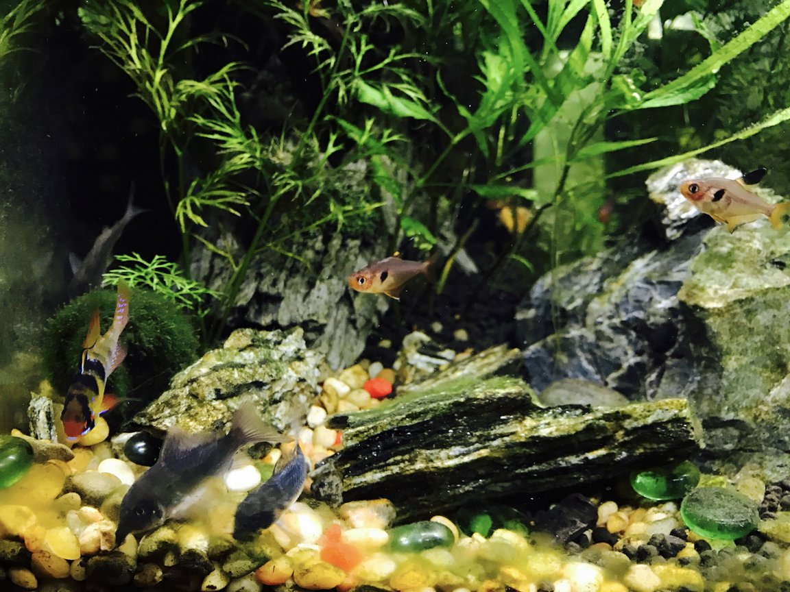 fish tank picture - Red phantom tetras