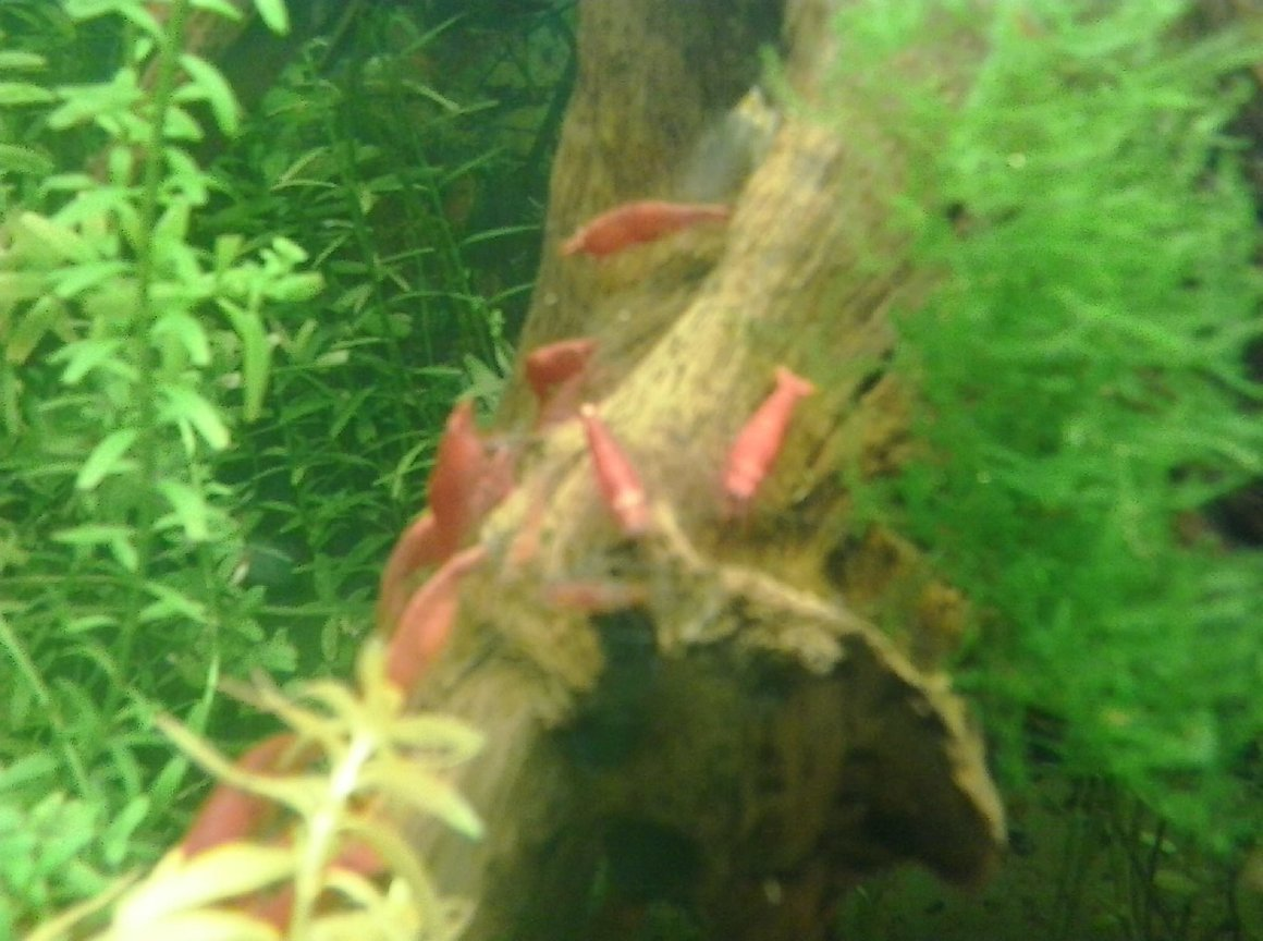 fish tank picture - Cherry Shrimp