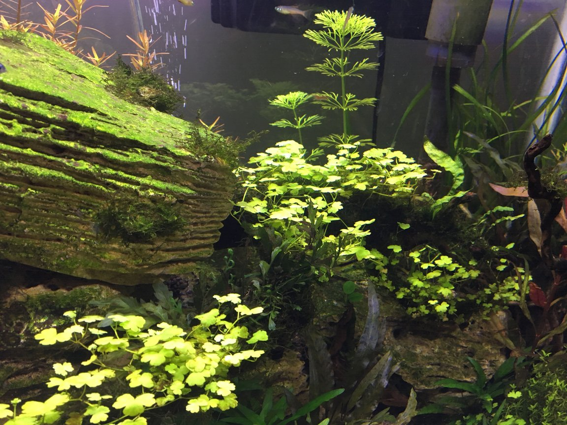 fish tank picture - I forget the name of this clover like plant, but I wrapped christmas moss around the driftwood with string and then this plant along with java fern and african fern. I was able to root in clover-like plant into the moss as a medium and it has really brought the driftwood to life.