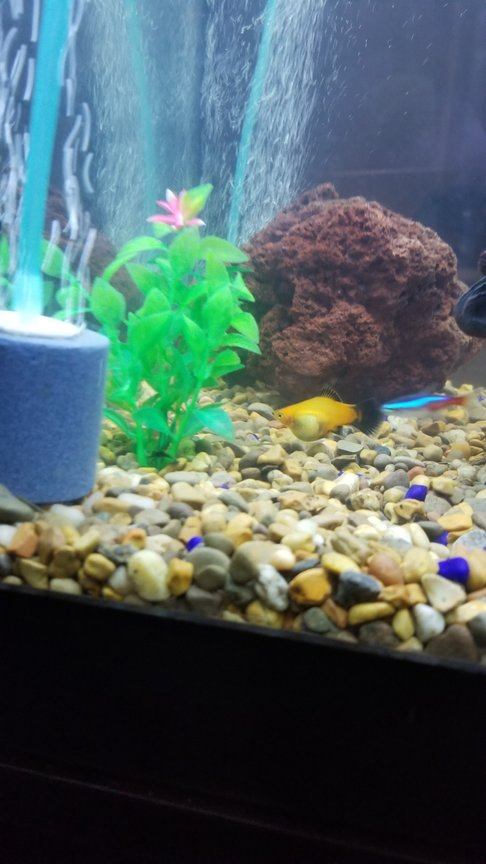 fish tank picture - Pregnant platy