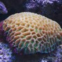 fish tank picture - Favia Brain coral in my 125 gallons reef