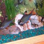 fish tank picture - My 2 Tin Foil Barbs and my 2 clown loaches.