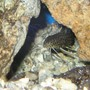 fish tank picture - Synodontis petricola catfish